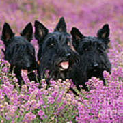 Scottish Terrier Dogs Art Print