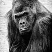 Scowling Gorilla Art Print