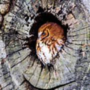 Screech Owl 02 Art Print
