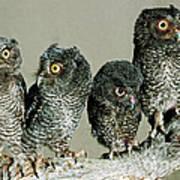 Screech Owl Chicks Art Print