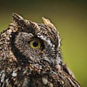 Screech Owl 1 Art Print