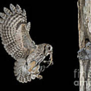 Screech Owl Feeding Owlets Art Print