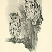 Screech Owls Art Print