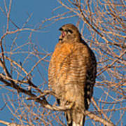 Screeching Red-shouldered Hawk Art Print