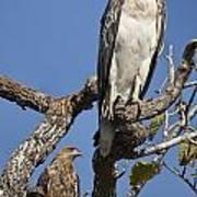 Sea Eagle And Brown Kite Sharing A Tree Art Print