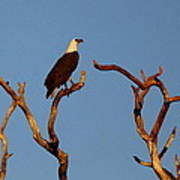Sea-eagle And The Peewee Art Print