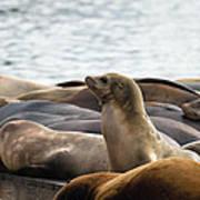 Sea Lions Sunning On Barge At Pier 39 San Francisco Art Print