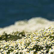 Sea Mayweed And The Sea Art Print