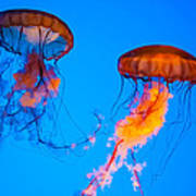 Sea Nettles Art Print by Anthony Sacco