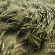 Sea Of Barley  Art Print