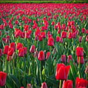 Sea Of Red Tulips Art Print by Inge Johnsson