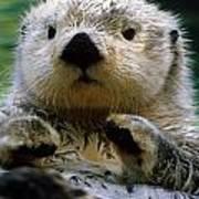 Sea Otter Swimming At Tacoma Zoo Captive Art Print