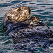 Sea Otter With Clam Art Print