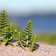 Sea Sandwort Art Print