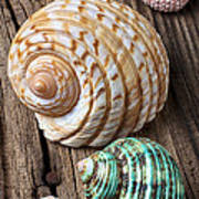 Sea Shells With Urchin  Art Print by Garry Gay