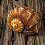 Sea Snail Shell On Old Wood Art Print by Garry Gay