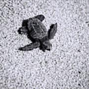 Sea Turtle In Black And White Art Print