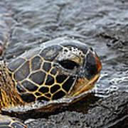 Sea Turtle Puako Tidepools Art Print