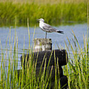 Seagull At Weeks Landing Print by Bill Cannon