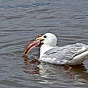 Seagull Eating Huge Fish In Water Art Prints Art Print