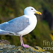 Seagull Heceta Head - Oregon Art Print