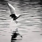 Seagull Landing On Lake Art Print