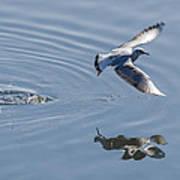 Seagull Reflection Art Print