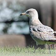 Seagulls 1 Art Print