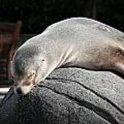 Seal At Rest Art Print