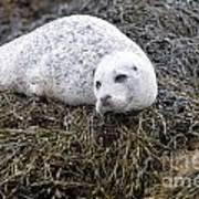 Seal Resting In Dunvegan Loch Art Print