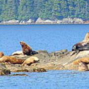 Seals In Alaska 1 Art Print