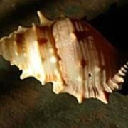 Seashell On Granite Art Print