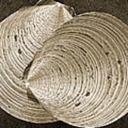 Seashells Spectacular No 11 Art Print