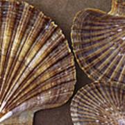 Seashells Spectacular No 7 Art Print