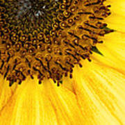 Seattle Sunflower Close-up Art Print