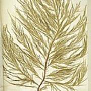 Seaweed (desmarestia Ligulata) Art Print by Science Photo Library