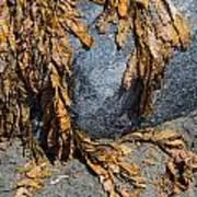 Seaweed On The Rock Art Print