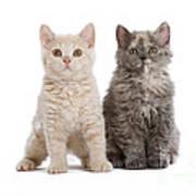 Selkirk Rex Kittens Art Print