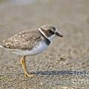 Semi-palmated Plover Pictures 34 Art Print