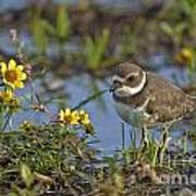 Semi-palmated Plover Pictures 44 Art Print