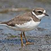 Semi-palmated Plover Pictures 59 Art Print