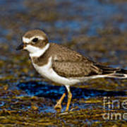 Semipalmated Plover Art Print
