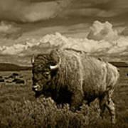 King Of The Herd Art Print