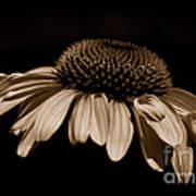 Sepia Daisy Art Print