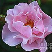 September Rose Art Print