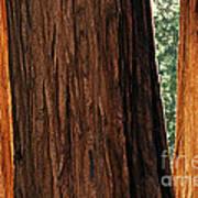 Sequoia Art Print