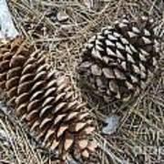 Sequoia Pine Cones Art Print