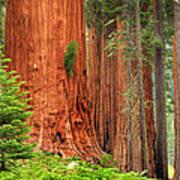 Sequoias Art Print by Inge Johnsson
