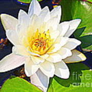 Serenity In White - Water Lily Art Print