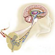 Serotonin Released In The Brain Travels Art Print